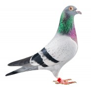 Pigeons/Volaille